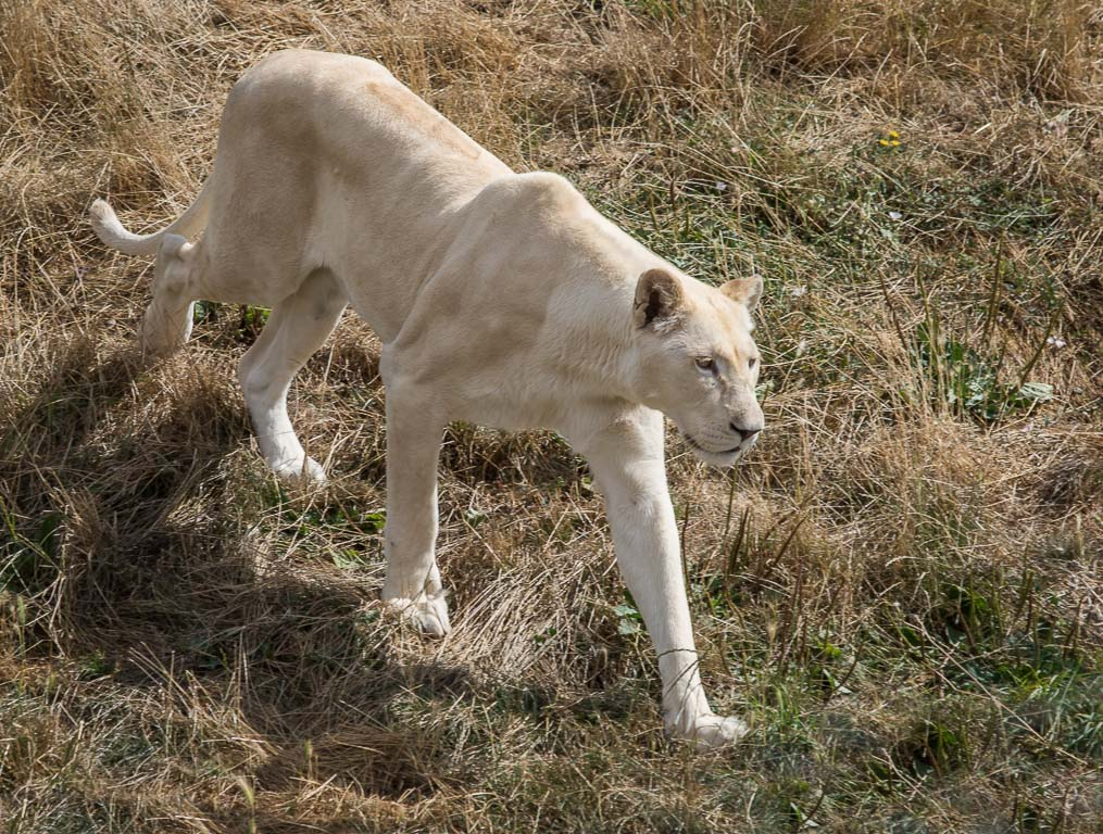 20180728 7D2 0032 White Lion 'Panthera leo leo'.jpg