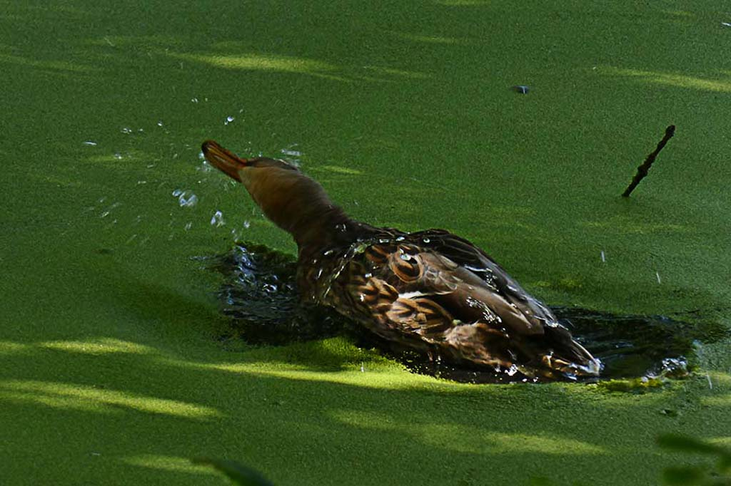 Bathing Mallard Duck.jpg
