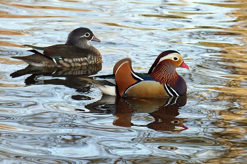8-Mandarin Ducks.jpg