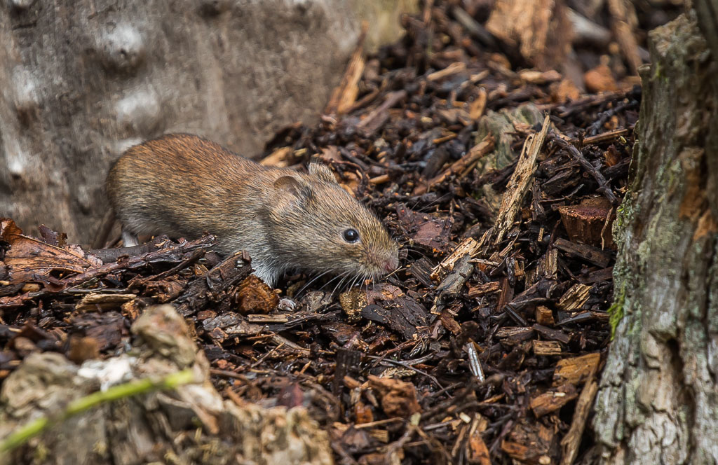 20190328 1DX 0197 Bank Vole.jpg