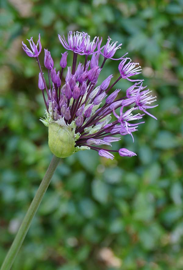 1CW-Ornamental Onion Flower.jpg