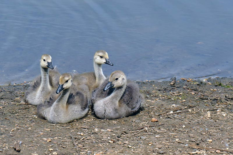 S22-Goslings sitting to attention.jpg