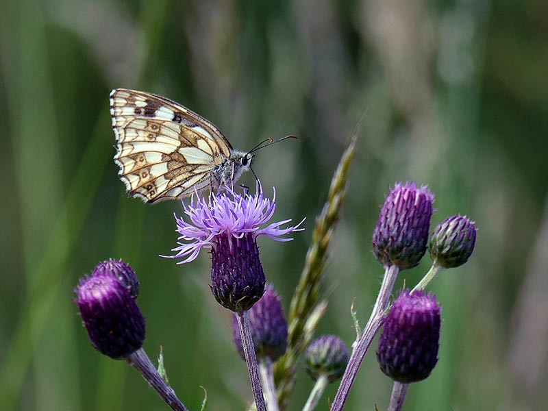 S28-Marbled White Butterfly on Thistles.jpg