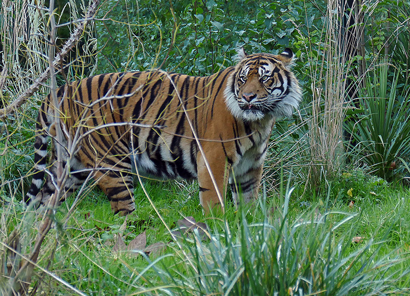 S46-Tiger in the thicket.jpg