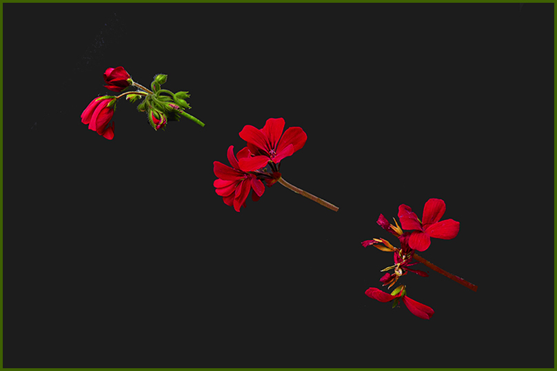 S20 GERANIUMS - Levetating down to seed.jpg